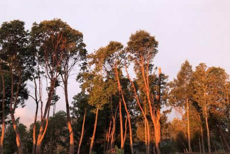 Trees after defensible space work on top of a ridge